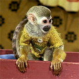 image of the Squirrel monkey Herr Nilsson in the Pippi Långstrump movies